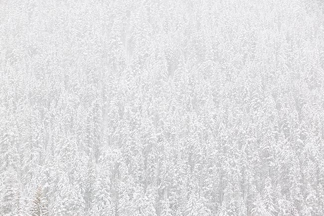 [© Whiteout by Judy Hill is described with Lenado, Woody Creek, Colorado, High Key, Pine, Pines, Tree, Trees, Horizontal, Stock, Fine Art, Evergreen, Rocky Mountains, Color, Mountain, Winter, Cool, Black and White, Neutrals hit 12056 rate ]
