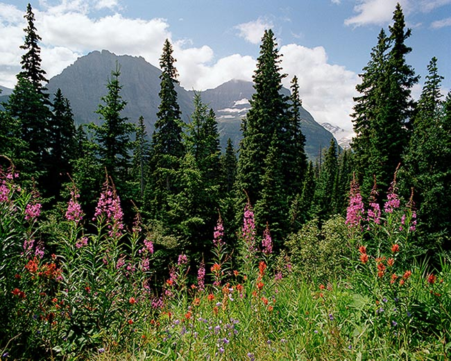 [© Mountain Blossoms by Judy Hill is described with Stock, National Park, Montana, Glacier National Park, Color, Cool, Warm, Mountain, Woods, Horizontal, Spring, Summer, Blue, Green, Pink, Orange, Magenta, Reds, White, Yellows, Air, Blue sky, Flower, Mt., Tree, Flowers, Fireweed, Indian Paint Brush, Mountain Bluebells, Alpine, Mountains, Fine Art, Rocky Mountain, Rockys hit 11481 rate ]
