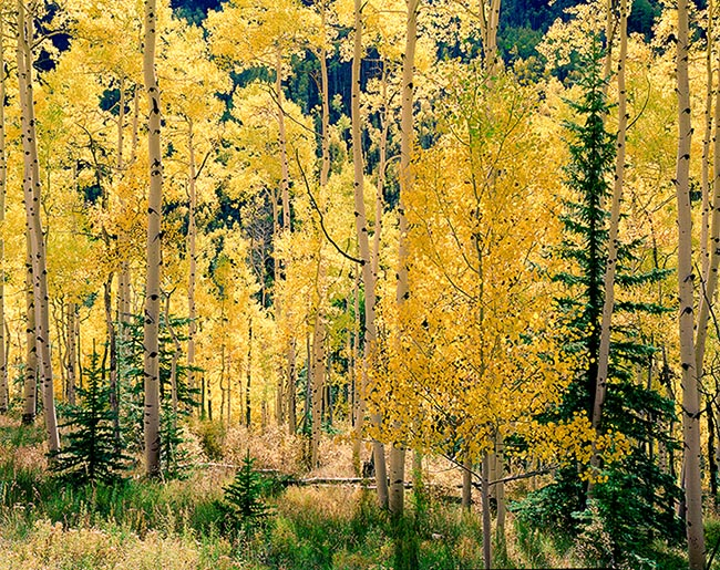 [© Castle Creek Fall Horizontal by Stuart Huck is described with Beige, Black, golden, Green, Warm, Yellows, Air, Aspens, Evergreen, Forest, Leaves, Trees, Woods, Horizontal, Aspen, Colorado, Elk Range, Rockys, White River National Forest, Mountains, Rocky Mountains, Autumn, Fall, Color, Fine Art, Stock, Maroon Bells-Snowmass Wilderness, Rocky Mountain, Tree hit 13438 rate ]