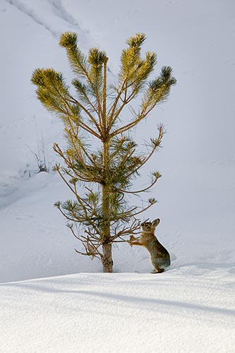 [© Bunny and Pinelet by Judy Hill is described with Fine Art, High Key, Stock, Beige, Black, Blue, Cold, Cool, Gray, Neutrals, White, Rocky Mountain, Rockys, Woody Creek, Snow, Snowy, Mountain, Mountains, Alpine, 2004, Winter, Pine, Tree, Colorado, Close, Vertical, Rocky Mountains, Color hit 3726 rate ]