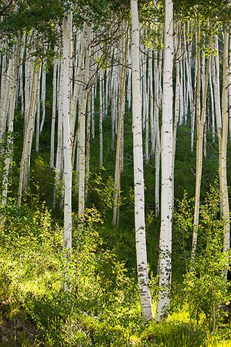 [© Electric Aspens 1 by Judy Hill is described with Stock, Beige, Brown, golden, Green, Hot, Neutrals, Warm, Yellows, Colorado, Independence Pass, Mountain, Rocky, Rockys, White River National Forest, Alpine, Leaf, Leaves, Woods, Rocky Mountains, Spring, Summer, 2004, Aspens, Tree, Trees, Vertical, Live, Fine Art hit 12601 rate ]