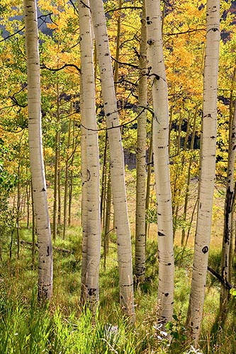 [© Fall Festival by Judy Hill is described with golden, Green, Hot, Warm, Yellows, Alpine, Aspens, Evergreen, Foliage, Mt., Pine, Pines, Woods, Colorado, Elk Range, Rocky Mountains, Rockys, Autumn, Fall, Vertical, Sunrise, Color, Fine Art, Stock, Maroon Bells-Snowmass Wilderness, 2004, Forest hit 13641 rate ]