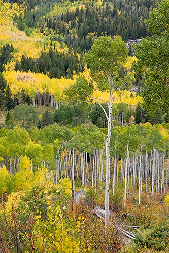 [© Fall Sentinel by Judy Hill is described with Autumn, Fall, Rocky Mountains, White River National Forest, Colorado, Elk Range, Independence Pass, Vertical, Color, Warm, Woods, Fine Art, Stock, Brown, Gold, Green, White, Yellows, Orange, Aspen, Rocky Mountain, Rockys, Foliage, Leaves, Tree, Alpine, Forest, 2004 hit 13871 rate ]