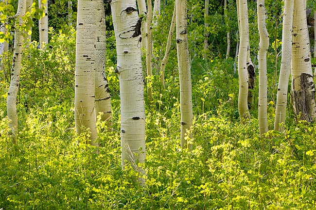 [© Weller Aspen Magic H by Judith A. Hill is described with Beige, Black, Cool, golden, Green, Aspens, Forest, Leaf, Leaves, Tree, Trees, Woods, Independence Pass, Rockys, White River National Forest, Mountain, Mountains, Spring, Summer, Rocky Mountains, Horizontal, 2005, Colorado, Fine Art, Stock hit 13373 rate ]