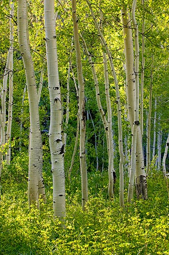 [© Weller Aspen Magic V by Judith A. Hill is described with Beige, Black, Cool, golden, Aspens, Forest, Leaf, Leaves, Tree, Trees, Woods, Independence Pass, Rockys, White River National Forest, Mountain, Mountains, Spring, Summer, Rocky Mountains, Vertical, 2005, Colorado, Fine Art, Stock hit 12826 rate ]