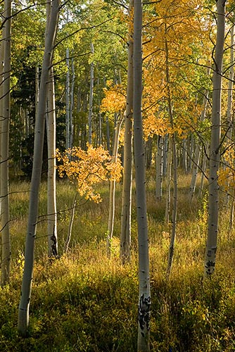 [© Solitary Glory by Judy Hill is described with Stock, Beige, Brown, golden, Green, Castle Creek, Rocky Mountain, White River National Forest, Foliage, Leaf, Leaves, Woods, Alpine, Mountain, Mountains, Rocky Mountains, 2005, Fall, Autumn, Aspens, Tree, Trees, Pine, Evergreen, Vertical, Color, Colorado, Rockys, Forest, Fine Art hit 12114 rate ]