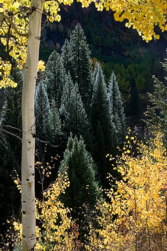 [© Lone Aspen, Shimmering Spruce by Judith A. Hill is described with Yellows, Green, Alpine, Aspens, Evergreen, Forest, Pine, Pines, Rocky, Tree, Trees, Woods, Colorado, Elk Range, Rockys, Mountain, Mountains, Rocky Mountains, Vertical, Fine Art, Stock, Color, Beige, Gold, Maroon Bells-Snowmass Wilderness, 2005, Fall, Warm, Cool hit 13386 rate ]