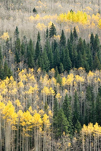 [© Silvan Gambol by Judith A. Hill is described with Yellows, Green, Alpine, Aspens, Evergreen, Forest, Pine, Pines, Rocky, Tree, Trees, Woods, Colorado, Elk Range, Rockys, Mountain, Mountains, Rocky Mountains, Vertical, Fine Art, Stock, Color, Beige, Gold, Maroon Bells-Snowmass Wilderness, 2005, Fall, Warm hit 12032 rate ]