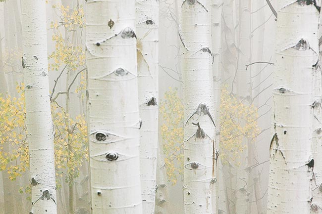[© Foggy Fall Aspens by Judy Hill is described with Color, Woods, Fall, Stock, Colorado, Elk Range, White River National Forest, Rockys, Alpine, 2006, Horizontal, Cloudy, Tree, Forest, Aspens, Close, Close up, Trees, Black, White, Gold, Yellows, Gray, Neutrals, Cool, Fine Art, Rocky Mountain, Rocky Mountains hit 15662 rate ]