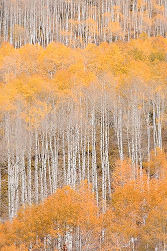 [© Sherbet Sunday by Judy Hill is described with Warm, Neutrals, Woods, Vertical, Fall, Stock, Color, Colorado, Castle Creek, Rocky Mountains, Rockys, White River National Forest, Alpine, 2006, Aspens, Tree, Trees, Forest, Fine Art hit 17894 rate ]