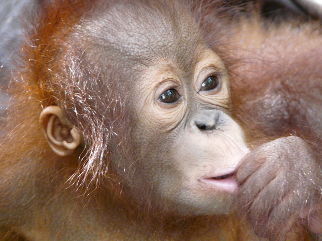 [© Nyaru Baby by Amory B. Lovins is described with Fine Art, Color, Horizontal, International, Orangutan, Borneo, Orange, Nyaru Mentang, remix hit 772 rate ]
