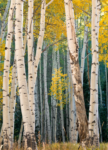 [© Aspen Peek-a-boo by Amory B. Lovins is described with Color, Fine Art, Fall, Trees, Vertical, Warm, Mountains, Aspen Trees, Bark, Gold, Yellow, White, Rocky Mountains hit 602 rate ]