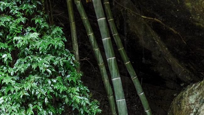 [© Bamboo by Amory B. Lovins is described with Fine Art, China, Color, Horizontal, Spring, Summer, bamboo, green hit 6273 rate ]