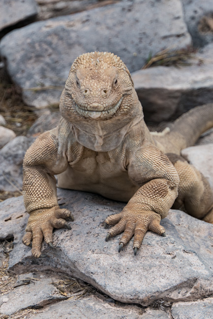 [© Iguana Grin by Judy Hill Lovins is described with Galapagos, Color, Beige, Fine Art, Vertical, Warm, Gray, Land Iguana hit 2577 rate ]