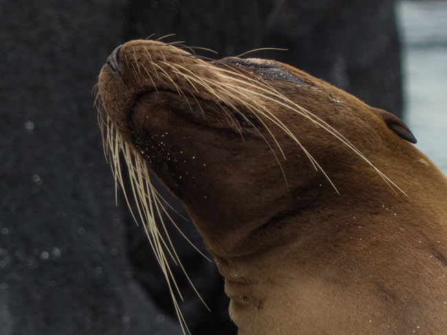 [© Whisker Chin by Amory B. Lovins is described with Galapagos, Color, Fine Art, Horizontal, Brown, Sea Lion hit 3111 rate ]