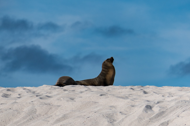[© ARF by Judy Hill Lovins is described with Galapagos, Sea Lion, Color, Fine Art, Horizontal, Brown, Blue, White, Sand, Beach hit 3106 rate ]