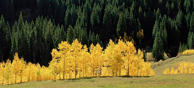 [© Aspen and Spruce by Stuart Huck is described with golden, Green, Yellows, Aspens, Forest, Pines, Trees, Woods, Horizontal, Aspen, Panorama, Mountains, Rocky Mountains, Autumn, Fall, Elk Range, Colorado, White River National Forest, Color, Fine Art, Stock, Warm, Maroon Bells-Snowmass Wilderness, Rocky Mountain, Rockys, Tree, Grass, Plane, Evergreen, Pasture hit 12989 rate ]