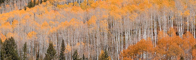[© Little Annie by Judy Hill is described with Warm, Neutrals, Woods, Horizontal, Fall, Stock, Color, Colorado, Castle Creek, Rocky Mountains, Rockys, White River National Forest, Alpine, 2006, Aspens, Tree, Trees, Evergreen, Pines, Pine, Forest, Fine Art hit 16018 rate ]